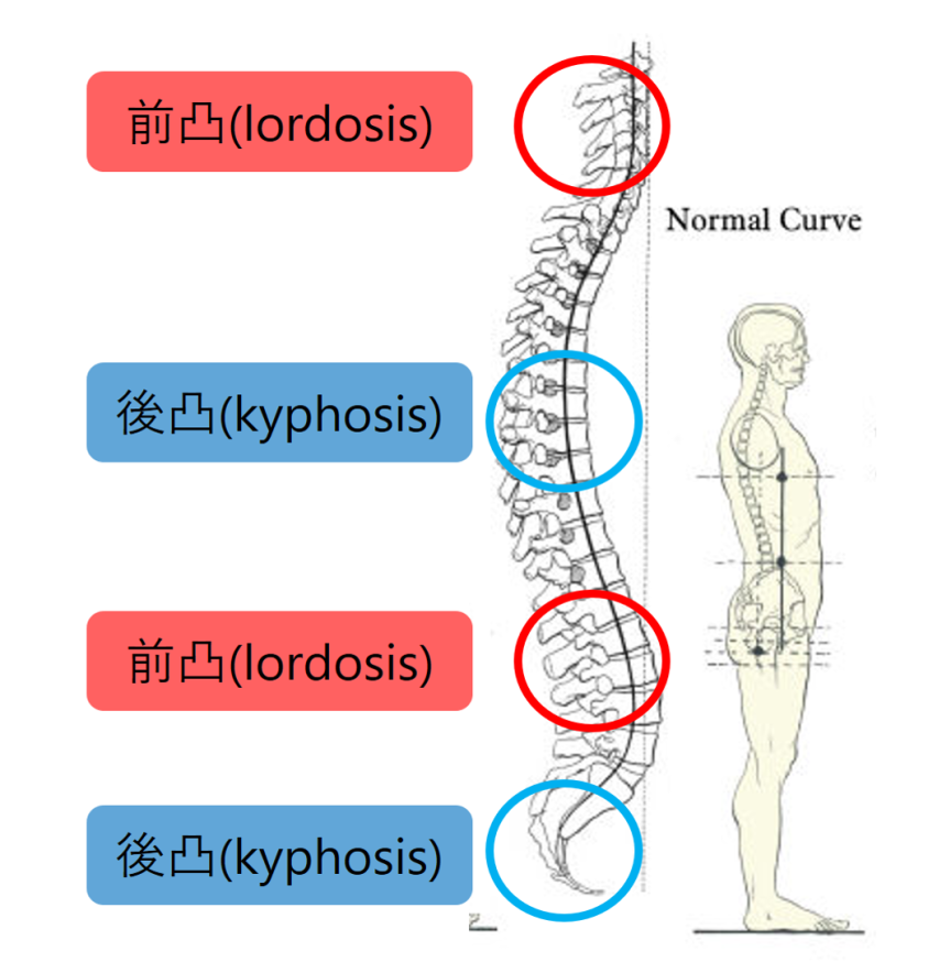 脊椎曲線.png